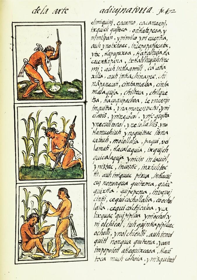 En beskrivelse av maisdyrking hos Aztekerne, i den Florentinske kodeksen fra 1500-tallet.