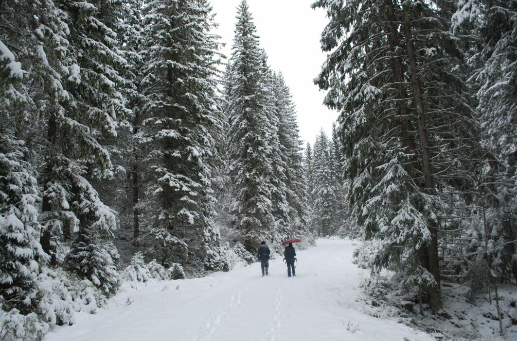 Granskogen er tett, mørk og ruvende når Mikkel Bølstad og journalist Elise Kjørstad går oppover mot Skokjernfjellet.