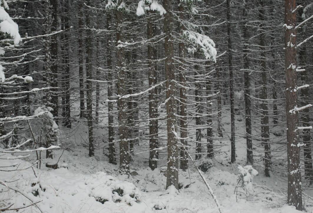 I granskogen oppover mot Skotjernfjell står trærne tett i tett og er like store. Bølstad kaller dette ekstremvarianten av plantet skog.
