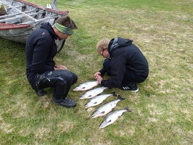 Hvilke effekter har pukkellaksen på økosystemet? Rune Muladal og Antti Eloranta studerer fangsten.