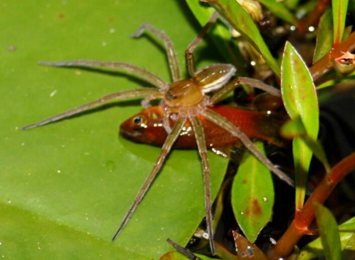 Edderkopp av arten Dolomedes facetus har kvartet en av småfiskene i en hagedam i nærheten av Brisbane i Australia. (Foto: Peter Liley)