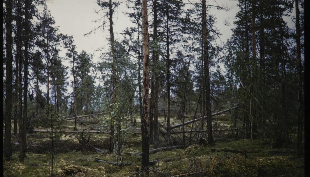 Ifølge Store norske leksikon finnes det skog som kan kalles urskog i Pasvik, Gutulia ved Femunden og i Trillemarka. Dette bildet er fra Øvre Pasvik i 1955.