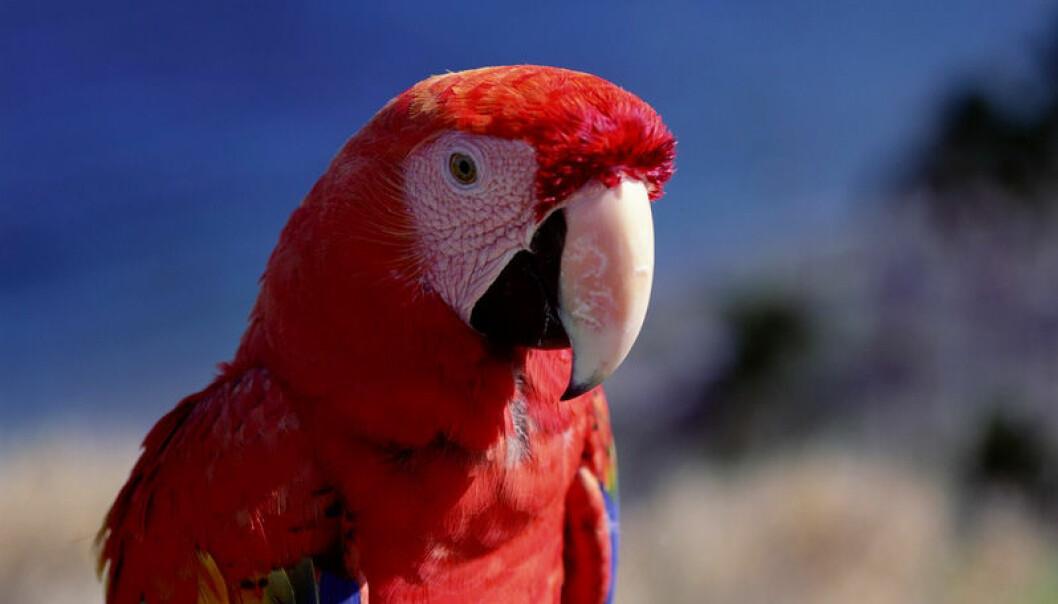 """""""Denne karen har stor hjerne sammenlignet med de fleste av sine kolleger i fugleverdenen. Det kan komme godt med når den skal å unnslippe store ørner som vil ha papegøye på menyen."""""""