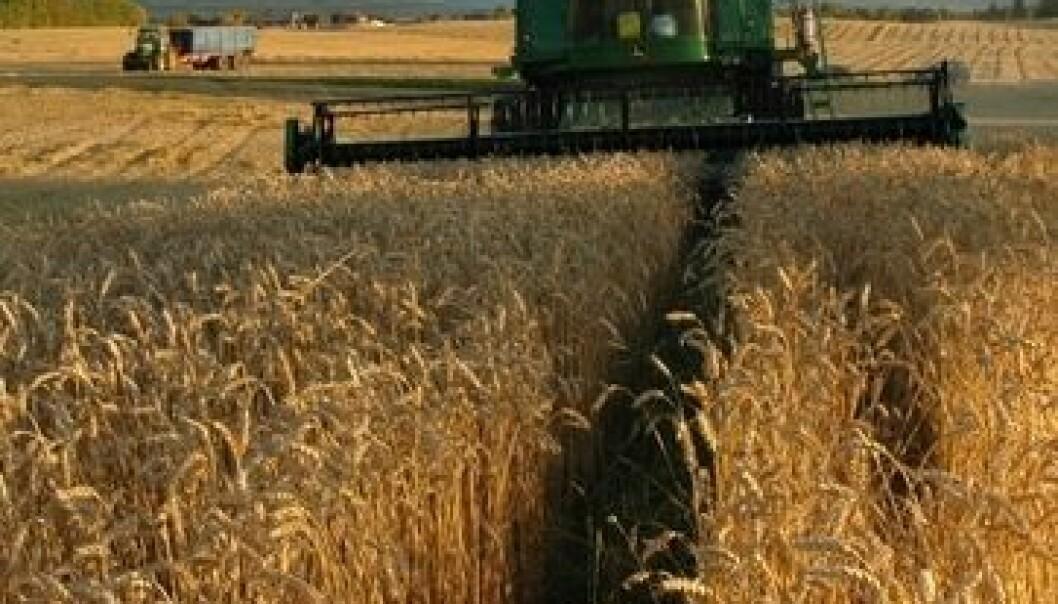 Høsting av hvete. Jon Schärer