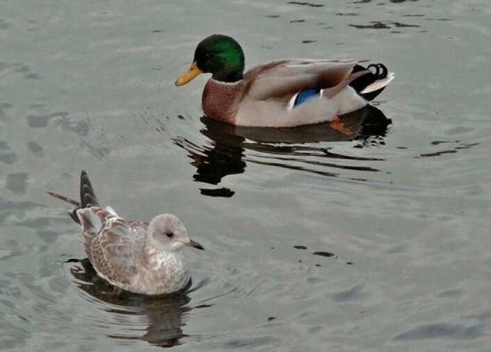 Stokkand og fiskemåke, to vanlige verter for aviære influensavirus. (Foto: Reidar Tønnessen)