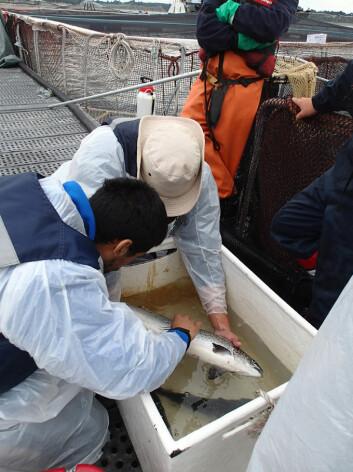 Lakselusa som her plukkes av laks i Chile, viser at resistensproblemene er økende også på den sørlige halvkule. (Foto: Kari Olli Helgesen)