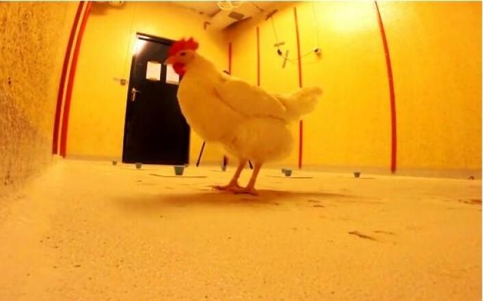 Hønene i forsøket må huske hvilke tre av de ni koppene det er mat. I løpet av fem uker, viser det seg at hønene husker svært godt. (Foto: NMBU)
