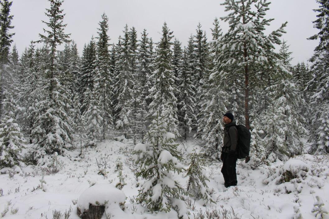 Inne i mellom områdene med gammel skog, ligger et felt med plantede grantrær.