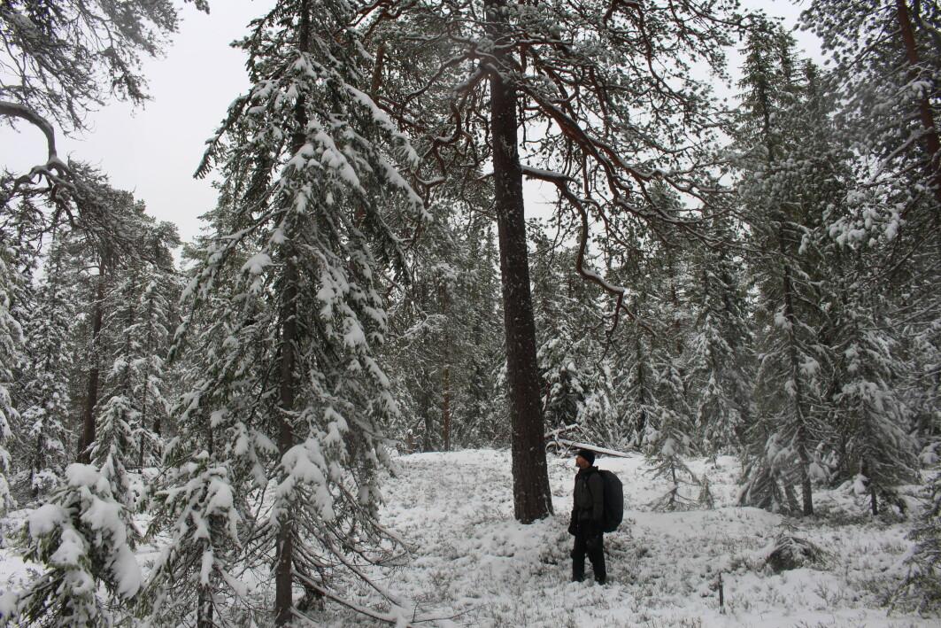 Inne i reservatet er det et mangfold av alder, høyde og fasong på trærne.