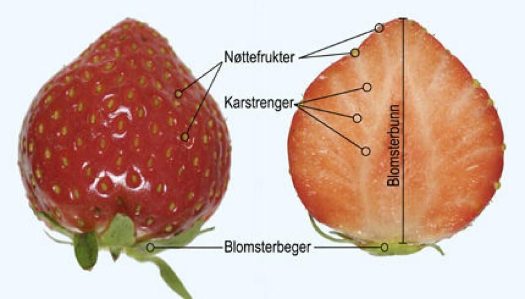 """""""Tversnitt av jordbær. Frøene er ikke frø, men små nøtter. Derav navnet nøttefrukter."""""""
