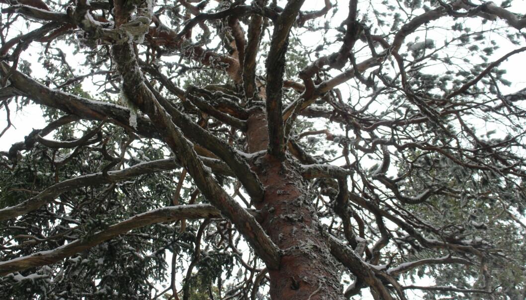 Når furua har vokst ferdig i høyden, begynner det å vokse i bredden. Dette bildet ble tatt litt lenger inn i skogen.