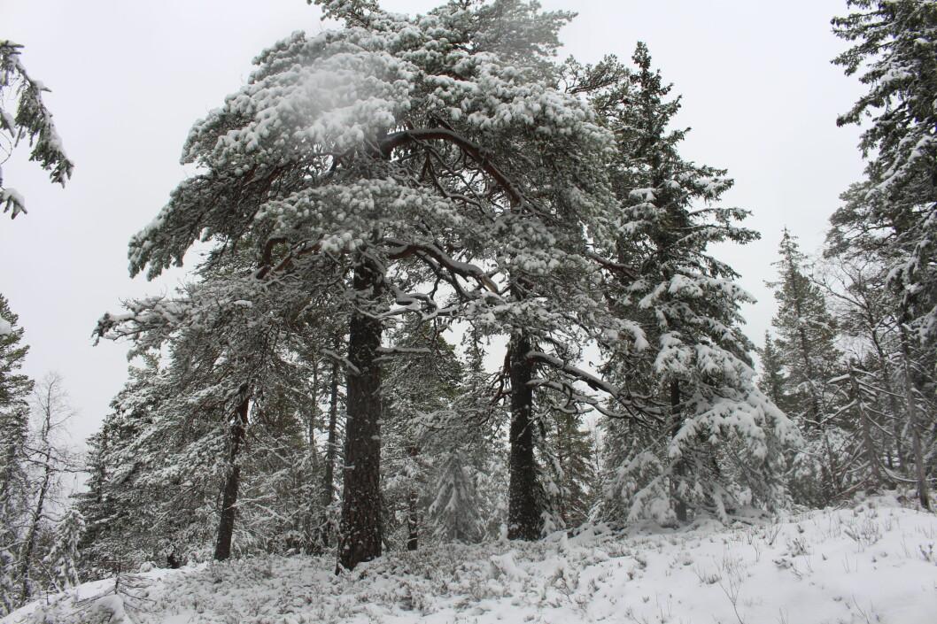 Furu i ulike fasonger i gammelskogen.