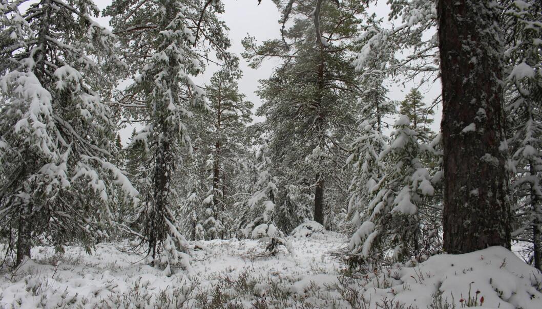 Skogen blir luftigere etter hvert som vi kommer inn i områder med eldre skog.