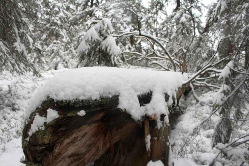 Et kraftig tre som har veltet i naturskogen på Skotjernfjell.