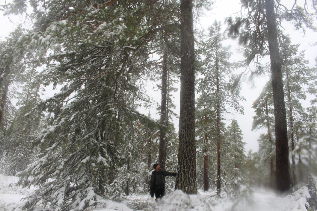 Mikkel Soya Bølstad var ung gutt da han først fikk øynene opp for eldre skog.