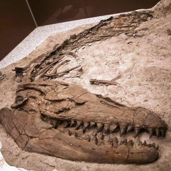 Et annet Prognathodon-fossil, som finnes ved Royal Tyrrell Museum i Canada. (Foto: Wikimedia Commons)