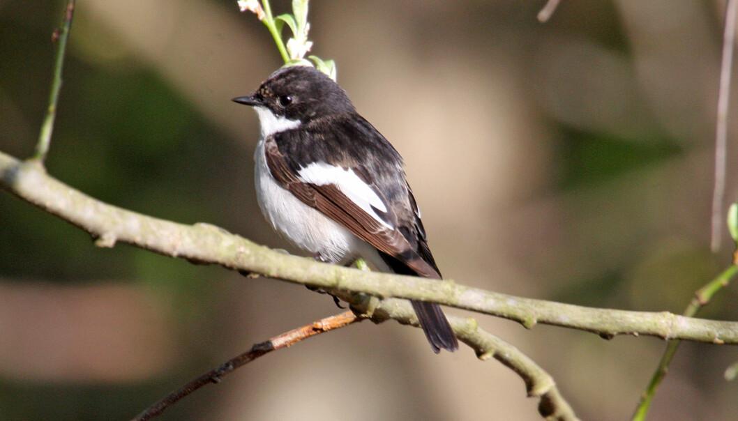 Svarthvit fluesnapper er en kjent og kjær fugl i hager og parker. Den hekker ofte i fuglekasser. Hans Petter Kristoffersen / Skog og landskap