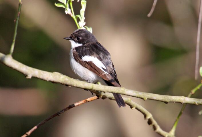 Svarthvit fluesnapper er en kjent og kjær fugl i hager og parker. Den hekker ofte i fuglekasser. (Foto: Hans Petter Kristoffersen / Skog og landskap)