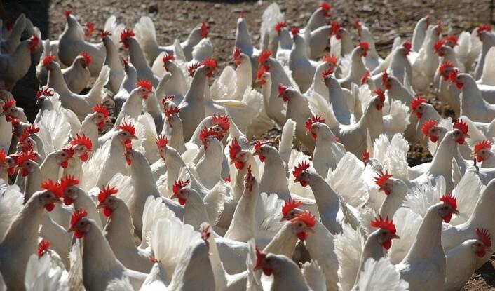 Et komplekst miljø, som når hønene får gå fritt i store haller istedet for å vokse opp i små bur, bidrar til mer hjernetrim og til et tett forhold mellom mennesker og dyr, ifølge forskerne. (Foto: Scanpix, Svein Holo)