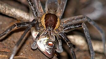 Edderkopper fanger fisk