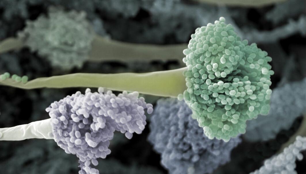 Aspergillus fumigatus er en sykdomsfremkallende muggsopp som har utviklet høy grad av azolresistens.