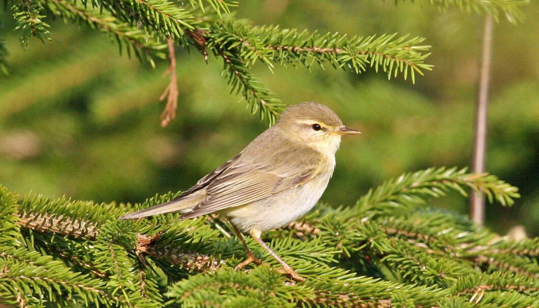 Løvsanger (Phylloscopus trochilus) er Norges kanskje vanligste fugl. Hans Petter Kristoffersen / Skog og landskap
