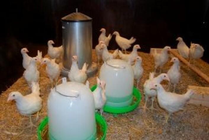 Kyllinger i smitteforsøk (Foto: Ragnhild Tønnessen)