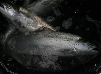 Lukkede anlegg kan potensielt gi en rekke fordeler både med tanke på fiskevelferd og miljø. Økt kontroll kan bidra til at stressfaktorene blir færre, og et kontrollerbart vanninntak gjør det lettere å unngå lakselus. (Foto: Bendik Terjesen/Nofima)
