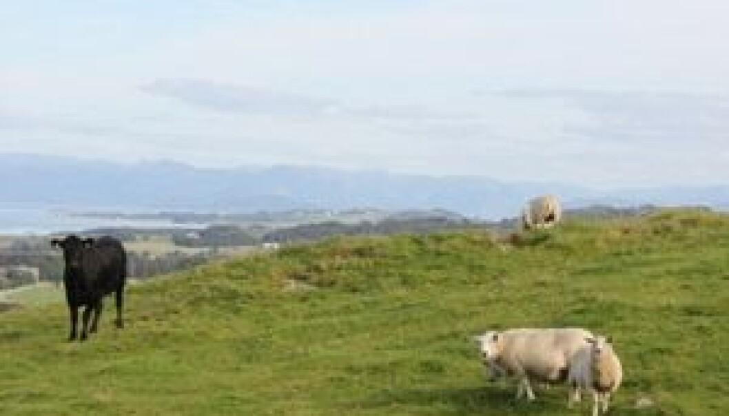 En norsk studie gir sterk indikasjon på at fotråtebakterier har smittet fra sau med fotråte til kyr som gikk på samme beite. Maren Knappe-Poindecker