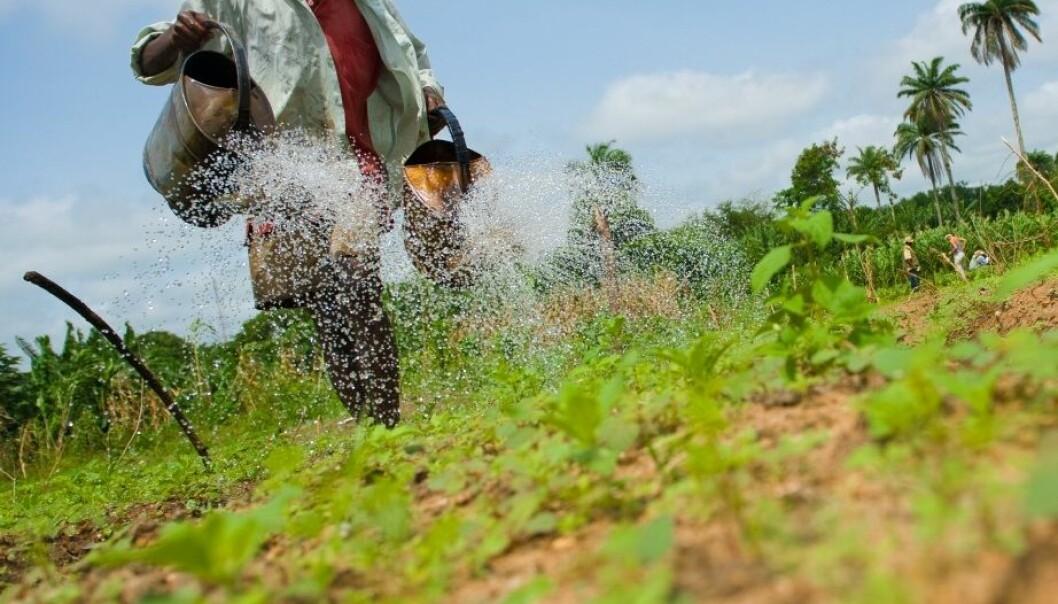 Store utfordringer for afrikanske grønnsakdyrkere. Arnstein Staverløkk