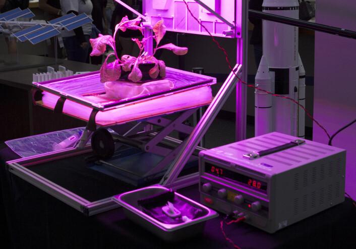 Rød romanosalat av typen Outredgeous vokser i drivhuset VEGGIE, som skal gi astronautene fersk salat til middagsbordet på Den internasjonale romstasjonen. Her er belgen som utgjør veggene slått sammen for å vise planten. (Foto: NASA/Bryan Onate)