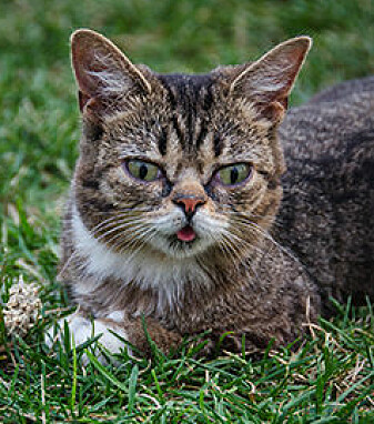 The cat Lil Bub has 3 million followers on Facebook. Here he is posing at the Internet Cat Video festival in 2012.