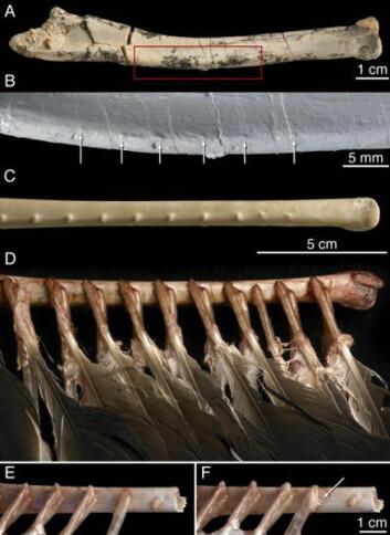 """""""Bilde A viser fossilet som ble undersøkt, bilde B viser detaljer av A. Bilde C er samme knokkel hos en kalkungribb. D, E og F er samme gribb, med fjær."""""""