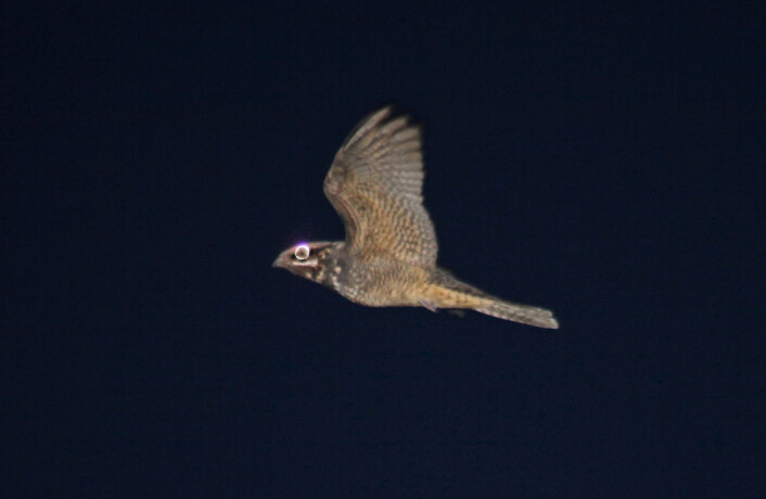 På dagen hviler nattravnen ut etter nattens fangst, på bakken godt kamuflert, eller oppe i et furutre. (Foto: Hans Petter Kristoffersen / Skog og landskap)