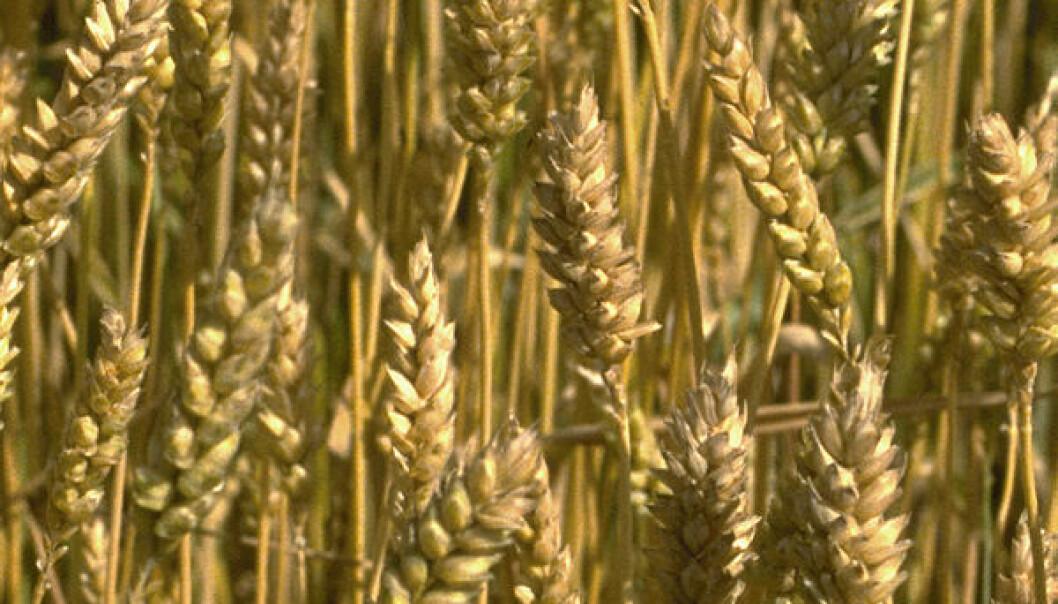 Amerikansk ozon ødelegger europeisk hvete