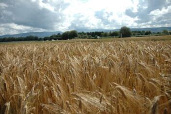 Jo lenger nord vi kommer, jo større fare er det for erosjon fra åker som har høstkorn. (Foto: Jon Schärer)