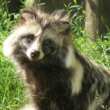 Mårhunden (Nyctereutes procyonoides) er svartelistet som fremmed art i Norge. (Foto: Pkuczynski / Wikipedia)