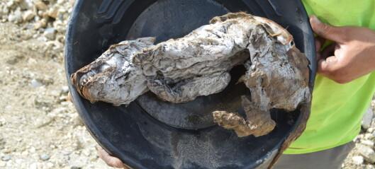 Gullgravere fant denne lille ulvevalpen under isen i Canada. Den er 57 000 år gammel.