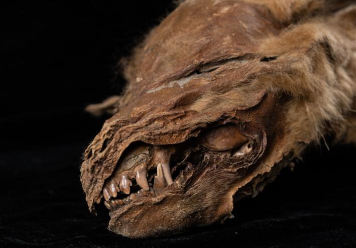 Ifølge forskerne er ulvevalpen nesten 100 prosent intakt, bortsett fra øynene. Her er et nærbilde av tennene hennes.