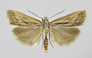 Stripenebbmott (Pediasia fascelinella) er en av de registrerte rødlisteartene på Kjevik. (Foto: Kai Berggren)