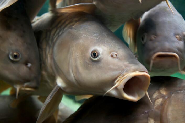 Nærbilde av en stim karper. Disse fiskene kan ha en evne til å føle jordas magnetfelt. (Foto: iStockphoto)