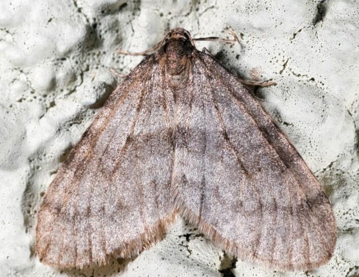 Liten høstmåler (Operophtera brumata). Her ser vi den flyvedyktige hannen. (Foto: Arne C. Nilssen, TMU)