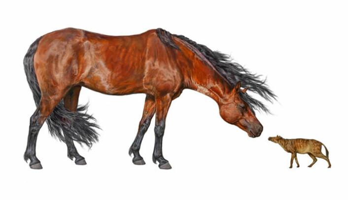 Urhesten Sifrhippus sandrae (til høyre) snuser på en moderne hest, i en kunstners framstilling. Sifrhippus var på størrelse med en liten huskatt ved begynnelsen av tidsepoken eocen. (Foto: (Illustrasjon: Danielle Byerley, Florida Museum of Natural History))