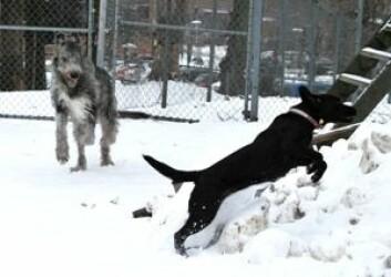 Labrador Kiki og irsk ulvehund Nova koser seg i snøen. (Foto: Marit Stormoen)