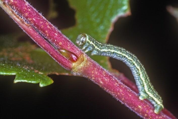 Larven av liten høstmåler. Det er disse som spiser opp bladene og ødelegger skogen. (Foto: Arne C. Nilssen, TMU)