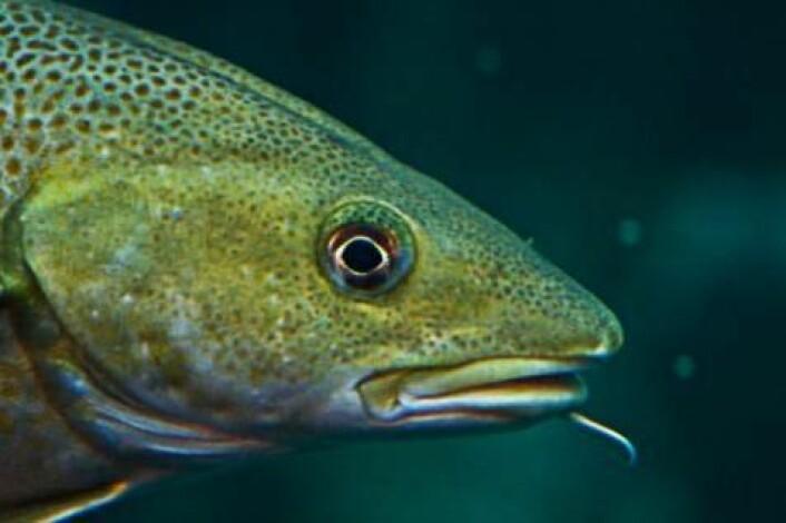 Til tross for torskens tilsynelatende mangelfulle immunforsvar, klarer den seg likevel godt mot en rekke sykdommer. (Foto: Colourbox)