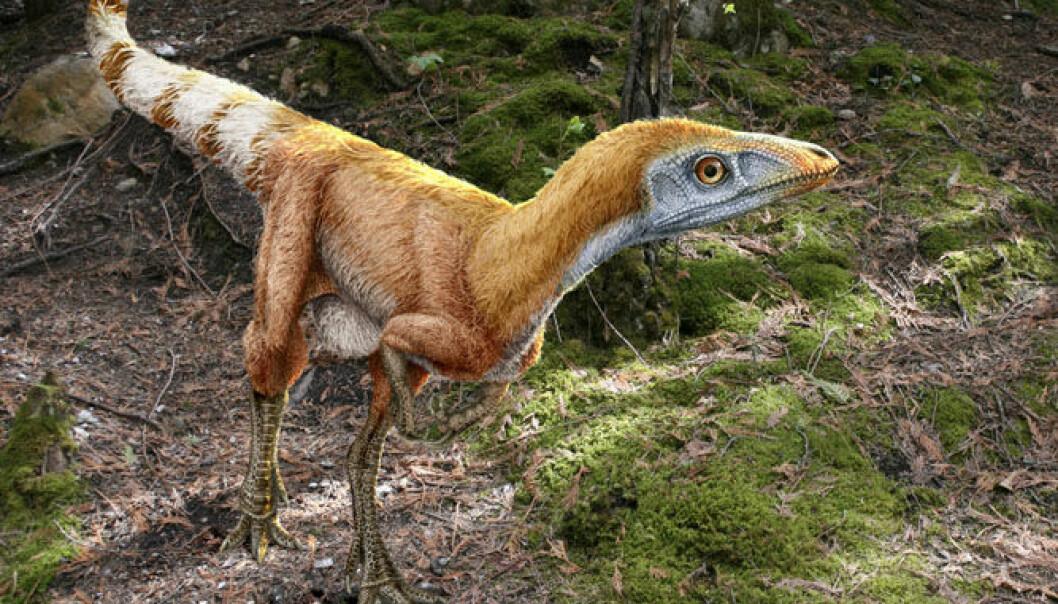 Dinosauren Sinosauropteryx prima var omtrent en meter lang og levde i Kina i krittida. Fossilene etter dyret viser fjærlignende strukturer og nyere studier har antydet at fjærene hadde ulike nyanser av hvitt og rødbrunt. Science Photo Library