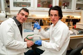 Forsker Alexandre Corthay og stipendiat Ole Audun Werner Haabeth i Bjarne Bogens forskningsgruppe har oppdaget at betennelsesfremmende signalmolekyler er en del av immunforsvaret mot kreft. (Foto: Yngve Vogt)
