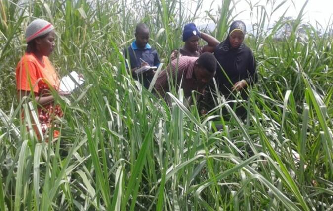 Brachiaria-grass grown on a project site in Tanzania.
