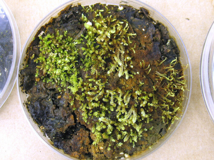 Her vokser mosen Aulacomnium turgidum. Den har spirt opp fra mose som har ligget under isen i 400 år. (Foto: Catherine La Farge)
